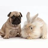 French Bulldog puppy with fluffy bunny