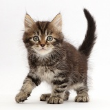 Tabby Persian-cross kitten, 7 weeks old, walking