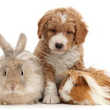 Goldendoodle puppy, bunny and Guinea pig