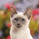 Blue-point kitten looking thoughtful