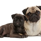Portly Pug and puppy