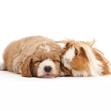 Sleepy Goldendoodle puppy and Guinea pig