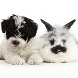 Playful black-and-white Cavapoo puppy and Bunny