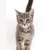 Grey tabby kitten walking