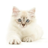 Birman-cross kitten