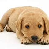 Labrador puppy lying with chin on paws