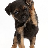 Border Terrier puppy, 5 weeks old, with raised paw