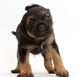 Border Terrier puppy, 5 weeks old, shaking