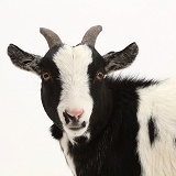 Black-and-white Pygmy Goat