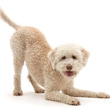 Lagotto Romagnolo dog in play-bow