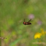Horsefly (Hybomitra species) male hovering