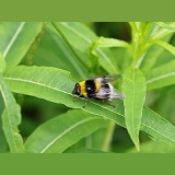 Hover Fly (Volucella bombylans) mimicking Bumblebee