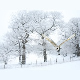 Barn owl in snowy scene