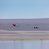 Andean Flamingos in flight