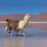 Llama walking in mud at the edge of Laguna Colorada, Bolivia