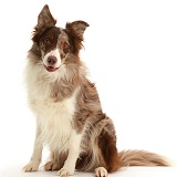 Chocolate merle Border Collie dog