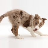 Playful Red merle Border Collie puppy