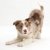 Playful Red merle Border Collie puppy in play-bow