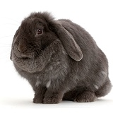 Blue grey lop rabbit