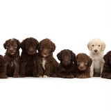 Eight Labradoodle puppies