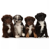 Four Mini American Shepherd puppies in a row