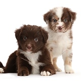 Two Mini American Shepherd puppies