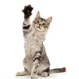 Silver tabby kitten with raised paw waving
