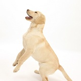 Yellow Labrador pup, 5 months old, jumping up