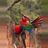 Green-winged Macaws preening