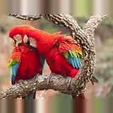 Green-winged Macaws preening each other