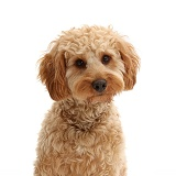 Cockapoo dog portrait
