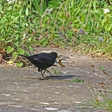 Blackbird with newt it has caught in a pond