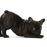 Dark brindle French Bulldog pup in play-bow