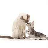 Birman-cross mother kissing her Silver tabby kitten