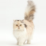 Cream-and-blue Persian cat walking