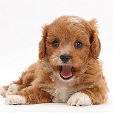 Cute red-and-white Cavapoo puppy, yawning