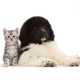 Kitten sitting with Newfoundland puppy
