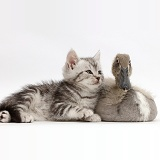 Silver tabby kitten with Indian Runner duckling