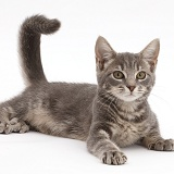 Playful grey tabby kitten