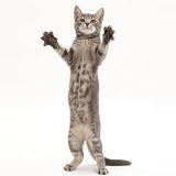 Grey tabby kitten standing up and grasping