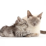 Silver tabby kitten snuggling up to his Birman-cross mother cat