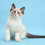 Ragdoll kitten, 10 weeks old, on blue background