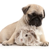 Pug pup and Guinea pig