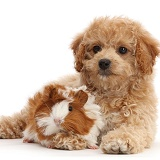 Cavachondoodle pup and Guinea pig