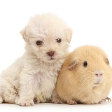 Golden Labradoodle runt puppy and Guinea pig