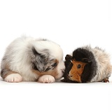 Miniature American Shepherd puppy with Guinea pig