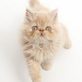 Persian kitten, sitting and looking up