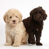 Cute Toy Goldendoodle puppies on beige background