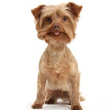 Yorkipoo with tongue showing