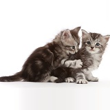 Silver tabby kittens, one playfully biting